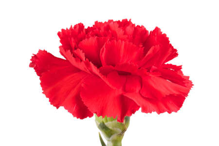 Beautiful red carnation on a white background photo