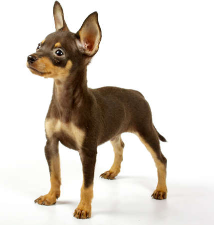 small chihuahua puppy on the white background photo