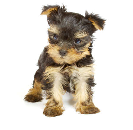 toy terrier: Cute pretty Yorkshire terrier puppy dog sitting. isolated on white background