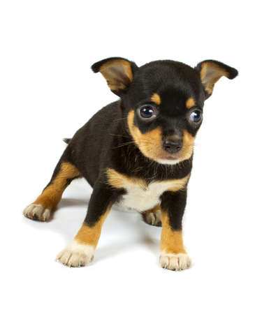 small chihuahua puppy on the white background Stock Photo - 9422758