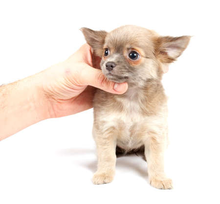 Chihuahua puppy in studio on the white