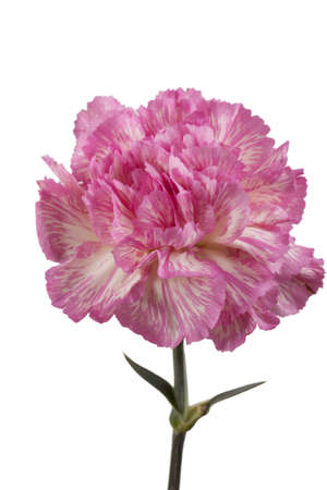 stalk flowers: Beautiful pink carnation on a white background