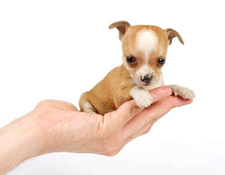 cane chihuahua: Divertente cucciolo Chihuahua pone su sfondo bianco