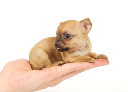 Funny puppy Chihuahua poses on a white background Stock Photo - 9430383