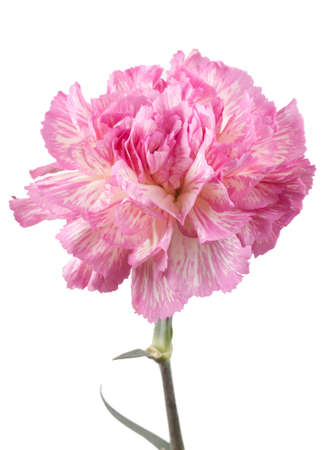 Beautiful pink carnation on a white background Stock Photo - 9432027