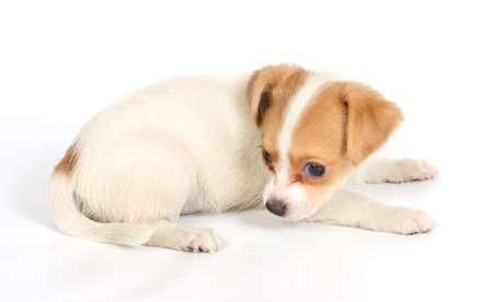 chihuhua puppy isolated on the white background photo