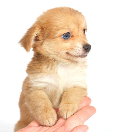 chihuhua puppy isolated on the white background Stock Photo - 9791121