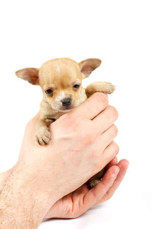 Funny puppy Chihuahua poses on a white background Stock Photo - 9446859