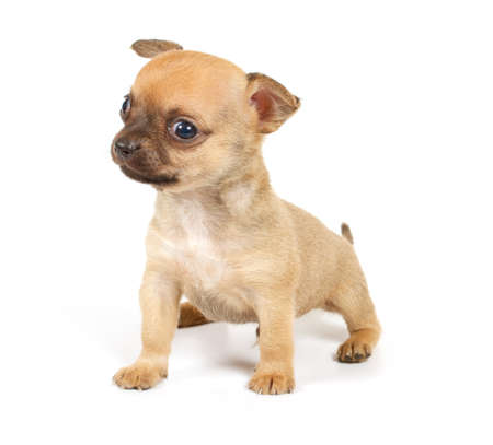 Funny puppy Chihuahua poses on a white background Stock Photo