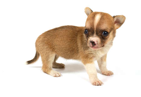 Funny puppy Chihuahua poses on a white background Stock Photo - 9446829