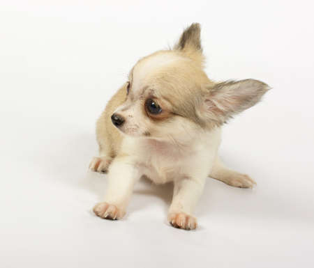 curios: small chihuahua puppy on the white background