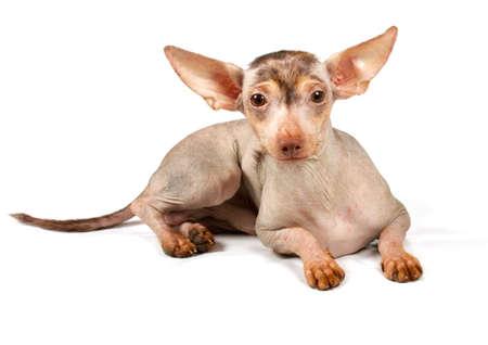 hairless: Chinese Crested Dog isolated on white Stock Photo
