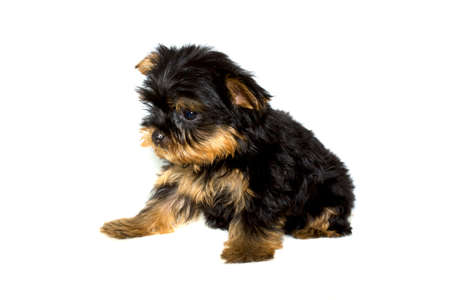 yorke: Yorkshire Terrier puppy on the white background Stock Photo