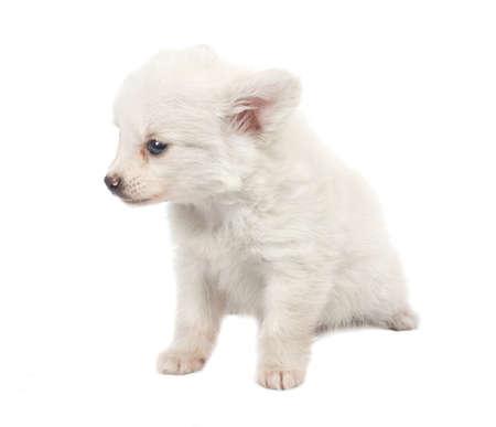 studioshoot: Ridiculous white spitz-dog on a white background