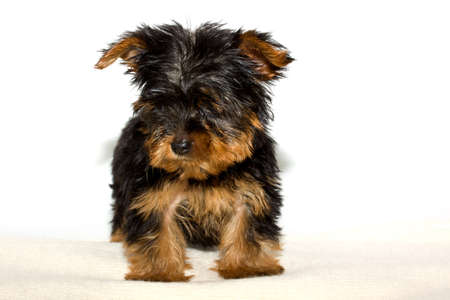 Yorkshire Terrier puppy on the white background Stock Photo - 9793945