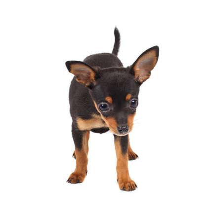 toy terrier: Toy terrier russo su uno sfondo bianco Archivio Fotografico