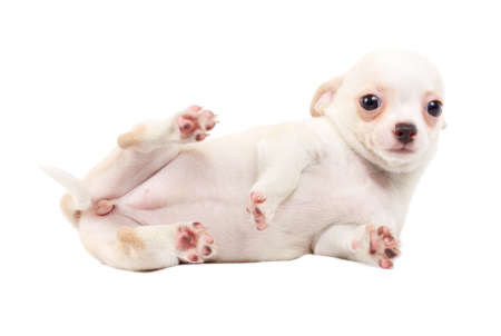cute small chihuahua puppy sitting on white looking at camera isolated photo