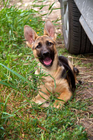 german shepherd in front of a natural green background Stock Photo - 10106502