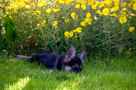 german shepherd in front of a natural green background Stock Photo - 10106568