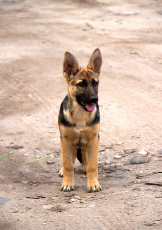 german shepherd in front of a natural green background Stock Photo - 10229293
