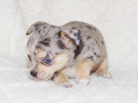 curios: small chihuahua puppy