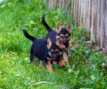 german shepherd in front of a natural green background Stock Photo - 10267062