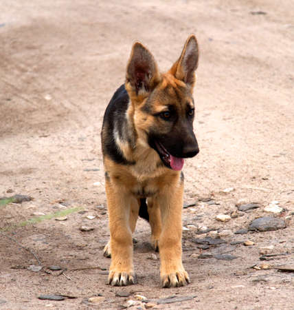 german shepherd in front of a natural green background Stock Photo - 10267048