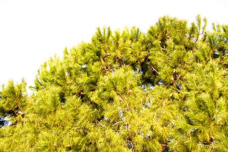 eminence: pine growing on an eminence, Turkey