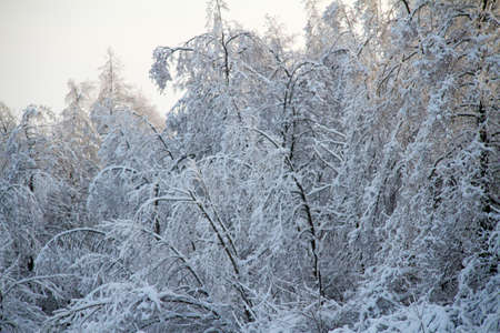 sleet: beautiful winter forest in Russia Stock Photo