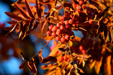 backlite: A tree blooming with Rowan berries in the fall