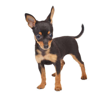 eared: Russian toy terrier on a white background Stock Photo