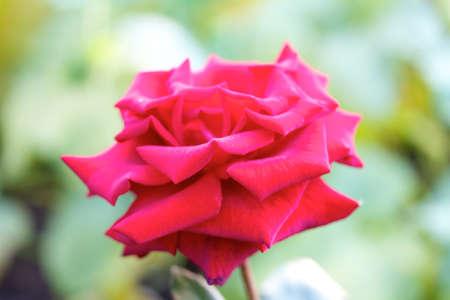Roses on a bush in a garden photo