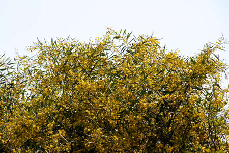mimosa tree with yellow flowers photo