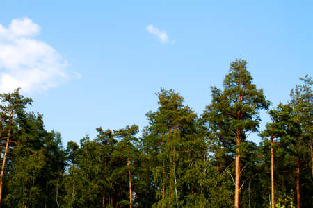 softwood: forest at summer, Russia
