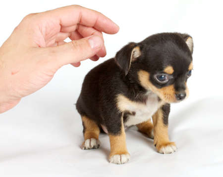 eared: cute small chihuahua puppy sitting on white looking at camera isolated Stock Photo
