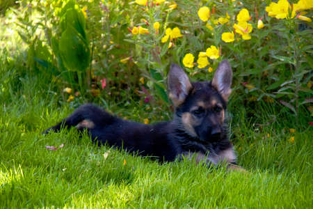 german shepherd in front of a natural green background photo