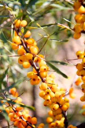 buckthorn: branch of sea buckthorn berries Stock Photo