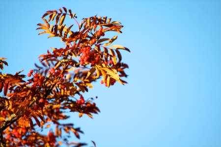 A tree blooming with Rowan berries in the fall