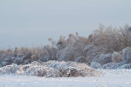 beautiful winter forest in Russia photo
