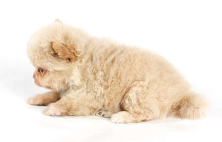The puppy of the spitz dog in studio photo