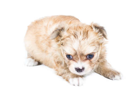 Chihuahua puppy on white background Stock Photo - 11370020