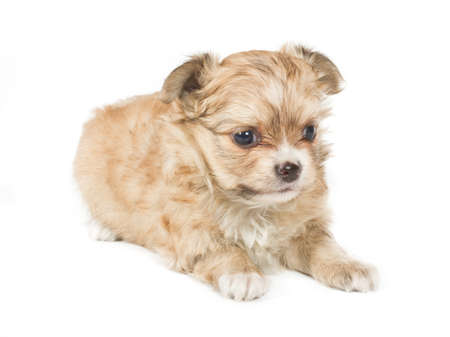 puppy on white background photo