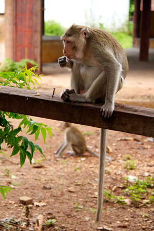 Monkey on  Jungle of Thailand photo