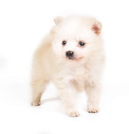 Pomeranian dog isolated on a white background photo