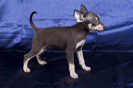 Russian toy terrier photo