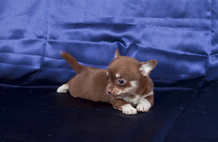 Chihuahua puppy photo