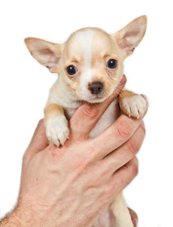 Chihuahua puppy in front of white background photo