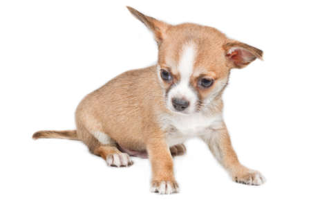 Chihuahua puppy in front of white background Stock Photo - 11719062