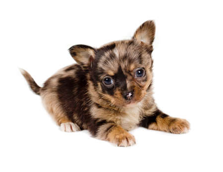 chihuahua puppy  in front of a white background photo