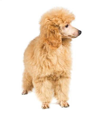 Apricot poodle puppy portrait on a white background photo